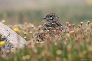 grouse, ptarmigan