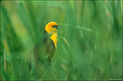 yellow-headed blackbird, marsh land