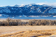 white-tailed deer, absaroka mountain range