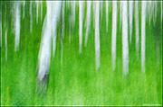 aspen boles, summer grasses, impressionistic