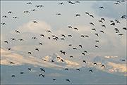canada geese, colorado prairie