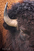 bison, Great Plains