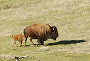bison cow and calf, Buffalo Groves Ranch
