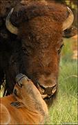 Bison Licking Calf