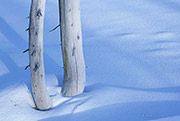 Bleached Pine in Snow