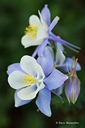 Blue Columbine, Collegiate Peaks Wilderness