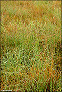 blue grama grass, shortgrass prairie