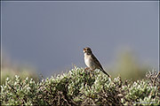 sagebrush obligate songbirds, brewer's sparrow