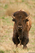 bull bison, keystone species