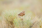 Burrowing Owl in Brush
