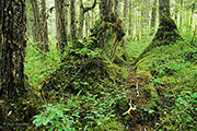 old growth, Chichigof Island, southeast Alaska