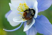 Colorado Blue Columbine, bumblebee, American Basin, Gunnison