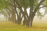 Cottonwoods and Fog