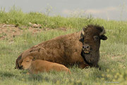bison, Rocky Mountain Arsenal National Wildlife Refuge