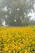 Cowpen Daisy in Fog