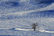 Lone Tree and Drited Snow