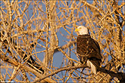 Cottonwood Eagle Perch