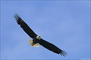 bald eagle, call