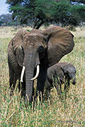 African Elephant Female and Calf