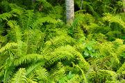 Ferns and Birch