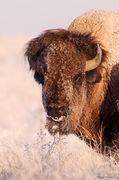 bison, prairie