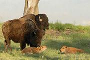 bison, Rocky Mountain Arsenal National Wildlife Refuge