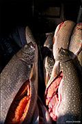 yellowstone lake, yellowstone cutthroat trout, lake trout