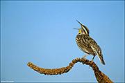 eastern meadowlark, front range prairie