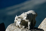 Mount Evans Wilderness Area, mountain goats