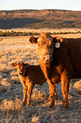 Cow With Calf in Spring