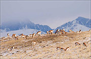 Upper Green River Basin, Grand Teton national Park, pronghorn