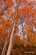 aspen trees, Gunnison National Forest, Colorado