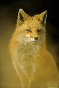 Red Fox, Wheat Ridge Greenbelt