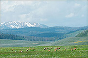 sandhill cranes, upper hoback, greater yellowstone ecosystem