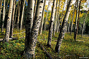 aspen, Rocky Mountain National Park