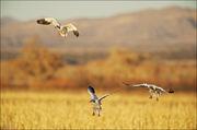 snow geese, corn field