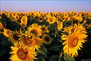 commercial sunflower, Erie, Colorado