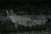swift fox, Pawnee National Grassland