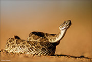 Coiled Western Rattlsnake