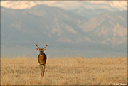White-tailed Buck Prairiescape