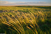 Windblown Prairie Grasses