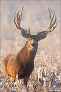 mule deer buck, winter