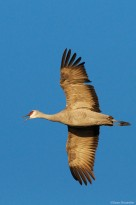 Greater sandhill crane, monte vista national wildlife refuge