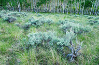Curecanti National Recreation Area, Colorado, sagebrush, aspen trees