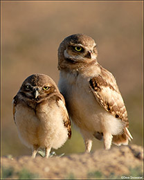 Pair of Burrowing Owl Chicks