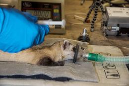 black-footed ferret, endangered