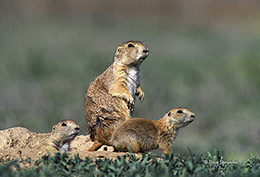 Black-tailed Prairie Dogs On Burrow