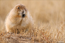 Black-tailed Prairie Dog Browsing