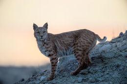 Bobcat Sunset