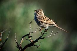 Sagebrush Songbirds in Audubon Magazine